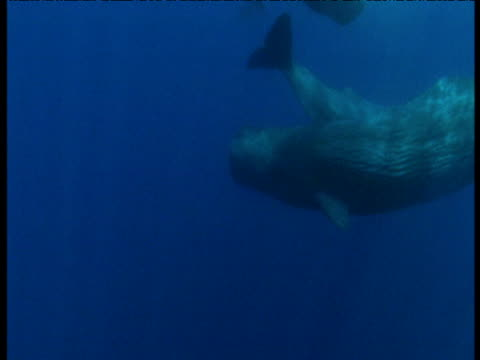 Sperm whale swims away from camera into the blue ocean, Azores
