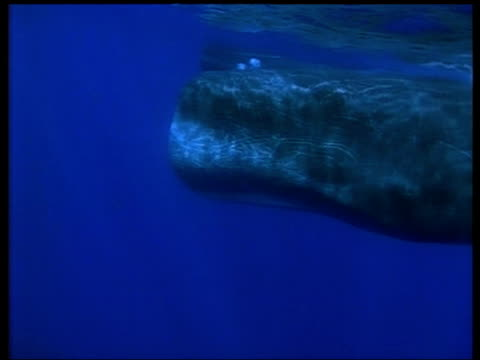 sperm whale swims from right to left past camera, azores - sperm whale stock videos and b-roll footage