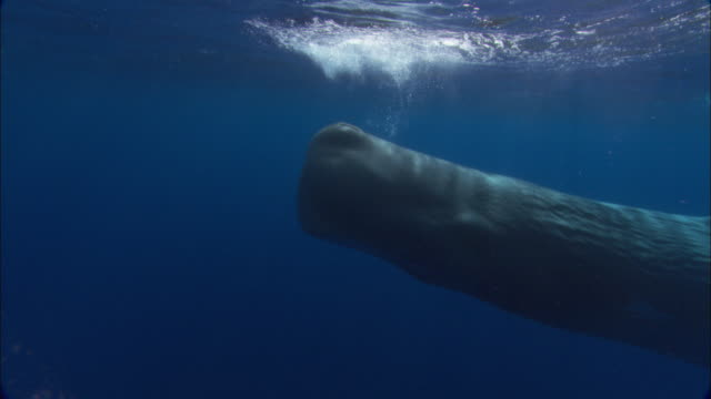 Sperm whale (Physeter catodon) swims near ocean surface, Azores, Atlantic Ocean