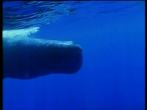 vidéos et rushes de sperm whale swims past camera, azores - cachalot