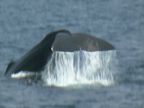 sperm whale tail lobbing - pottwal stock-videos und b-roll-filmmaterial