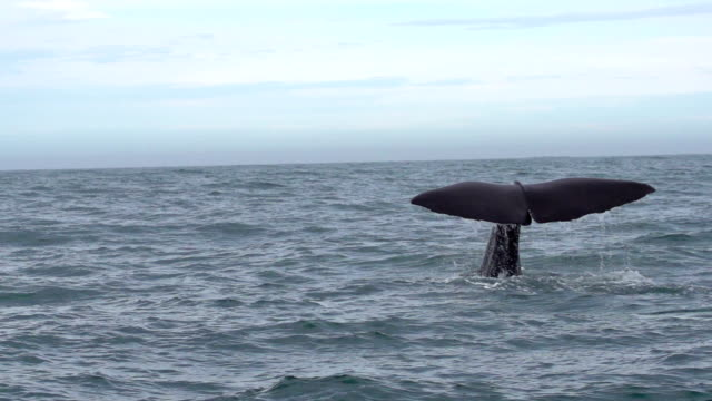 slow motion: sperm whale tail - sperm whale stock videos & royalty-free footage