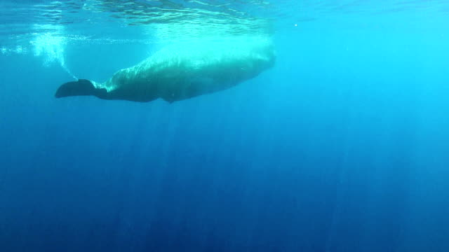 sperm whale - sperm whale stock videos and b-roll footage