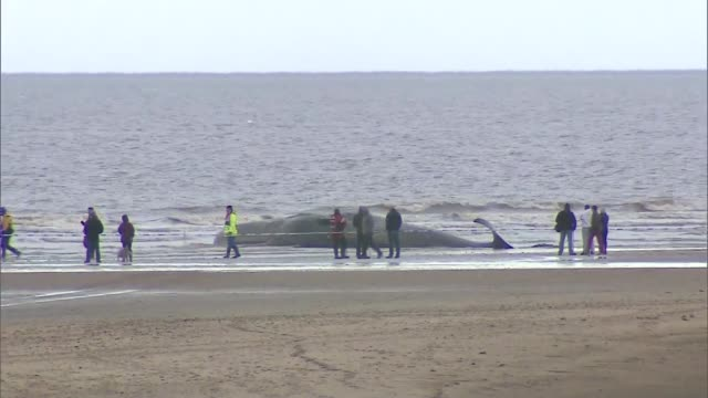 Sperm whale washed up on Hunstanton beach Long shot beached whale with cordon and people beside