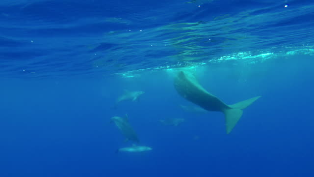 sperm whales at the surface are approached by a pod of bottle nosed dolphins, atlantic ocean, pico island, the azores, portugal. - dykarperspektiv bildbanksvideor och videomaterial från bakom kulisserna