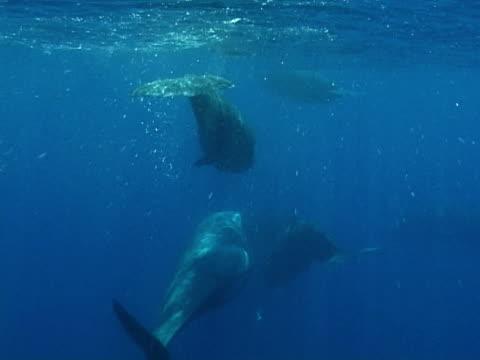 vídeos y material grabado en eventos de stock de sperm whales in social group - ballena cachalote