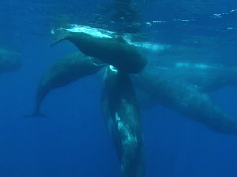 sperm whales in social group - pottwal stock-videos und b-roll-filmmaterial