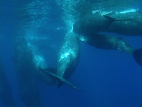 sperm whales in social group - cetacea stock videos & royalty-free footage