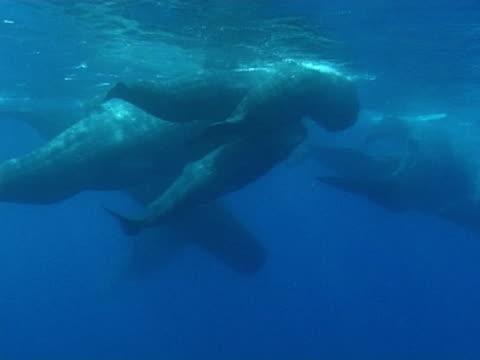 sperm whales in social group - マッコウクジラ点の映像素材/bロール