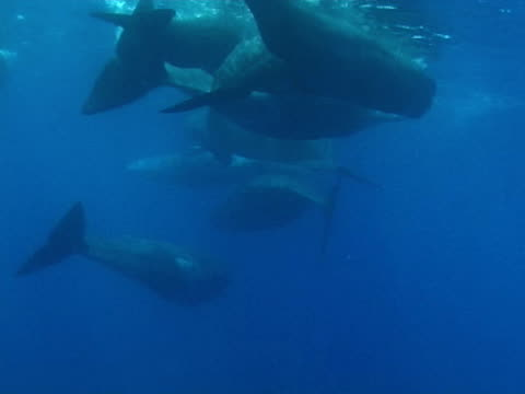 sperm whales in social group - aquatic organism stock videos & royalty-free footage