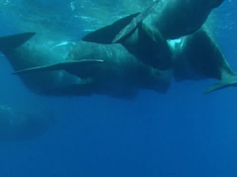 Sperm whales in social group