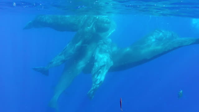 sperm whales socialising - pod of whales stock videos & royalty-free footage