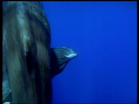 vidéos et rushes de sperm whales swimming, azores - cachalot
