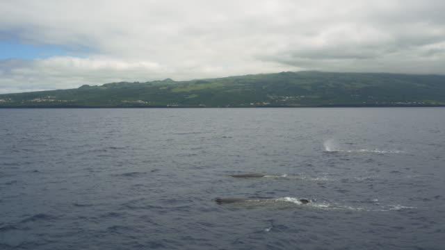 vídeos de stock e filmes b-roll de 3 sperm whales swimming close to pico island - bando de mamíferos marinhos