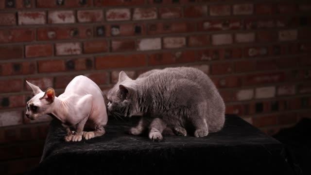 sphynx hairless cat vs british shorthair cat - shorthair cat stock videos and b-roll footage
