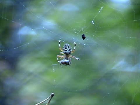 spider and prey - animal abdomen stock videos and b-roll footage