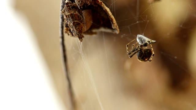 クモと被害者 - 捕らわれる点の映像素材/bロール