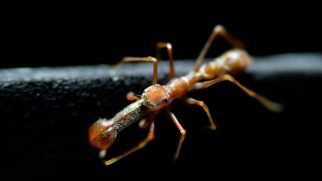spider ant close up studio shot - ant stock videos & royalty-free footage