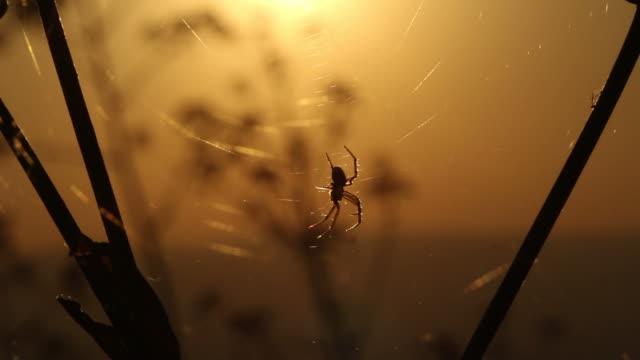 vidéos et rushes de araignée au coucher du soleil. - respect