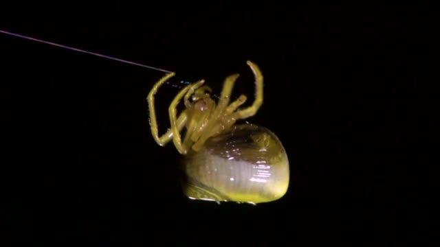 vídeos de stock, filmes e b-roll de spider (cyrtarachne inaequalis) building a cobweb, gangwon province, south korea - animal abdomen