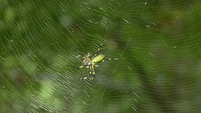 vidéos et rushes de spider called nephila clavata catching prey - captive animals