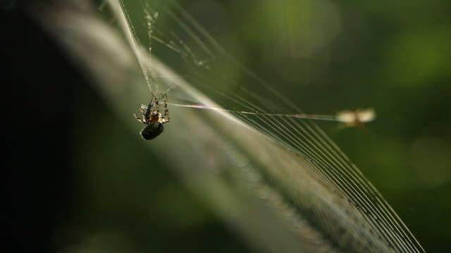 vídeos de stock, filmes e b-roll de vítima de captura de aranha, reserva natural khingan - teia de aranha