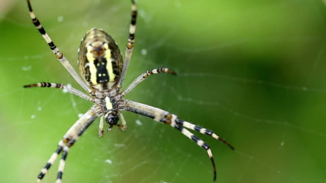 Spider caught the fly and eats her alive. Argiope bruennichi.