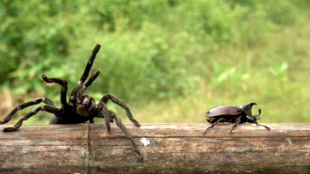 vídeos y material grabado en eventos de stock de araña charching escarabajo rinoceronte - dynastinae