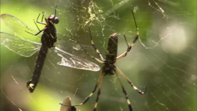 A spider clings to its web where it keeps a dragonfly captive.