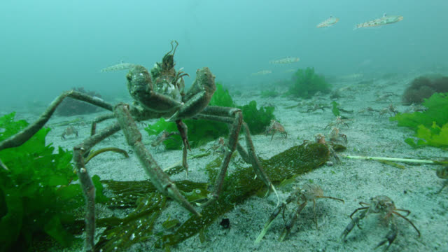 spider crab feeds on lobster krill, falkland islands - crab stock videos & royalty-free footage