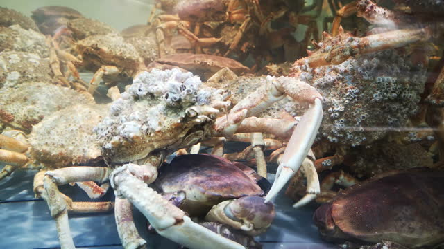 spider crab fighting spider crab  in a transparent tank of water - カニ捕り点の映像素材/bロール