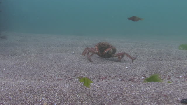 spider crab - south wales stock videos & royalty-free footage