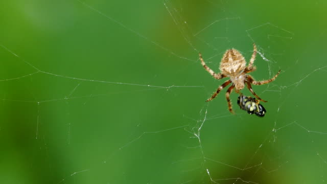 spider eating small insect on cobweb - spider stock videos & royalty-free footage