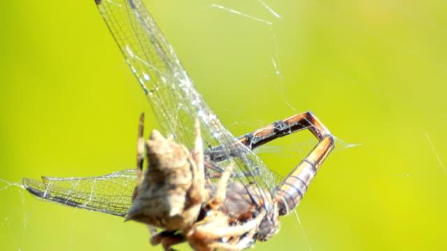 クモお食事 - 捕らわれる点の映像素材/bロール