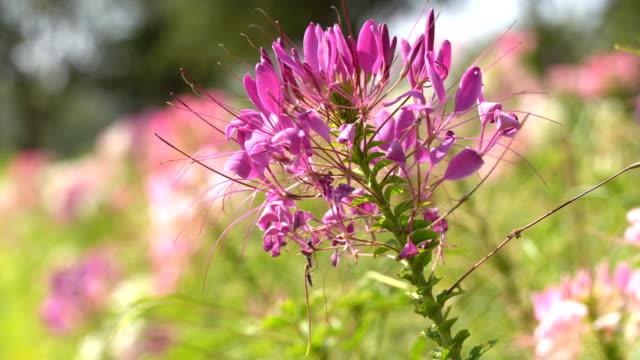 vídeos de stock, filmes e b-roll de flor de aranha no jardim - processo vegetal