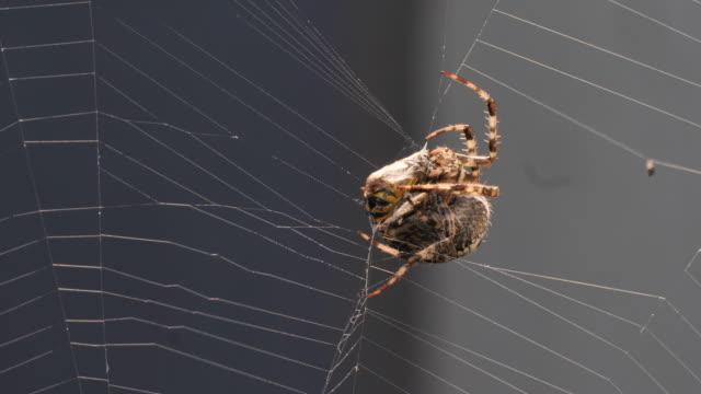 クモ、ハチをラップします。 - 動物の脚点の映像素材/bロール