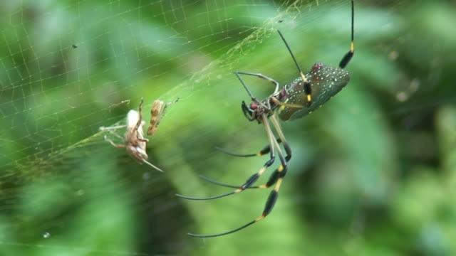 vídeos de stock e filmes b-roll de aranha de caça - invertebrado
