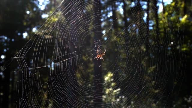 vidéos et rushes de araignée dans sa toile d'araignée sur l'arrière-plan de la forêt - araignée