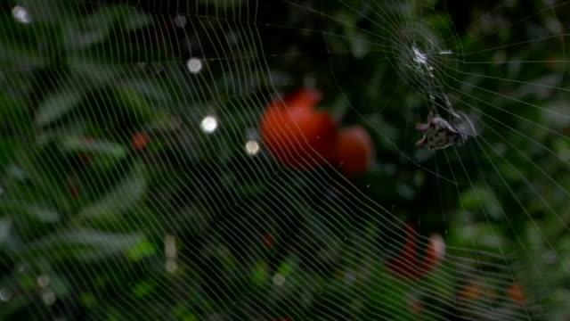 spider in middle of intricate web weaving it's spider silk w/ orange trees in bg - オレンジの木点の映像素材/bロール