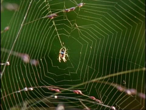 vidéos et rushes de mcu spider in middle of orb web as it shakes, usa - araignée