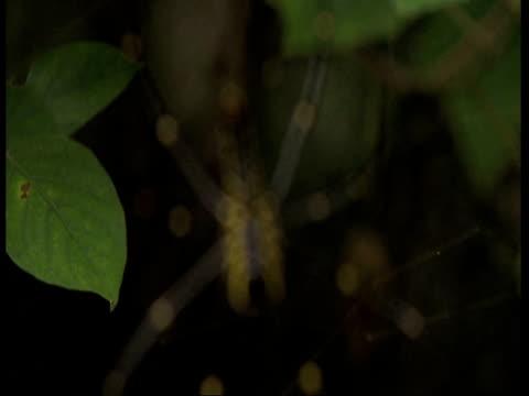 vídeos de stock, filmes e b-roll de cu spider in web, pull focus, western ghats, india - menos de 10 segundos