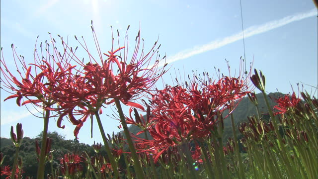 spider lilies bloom in japan. - spider lily stock videos and b-roll footage