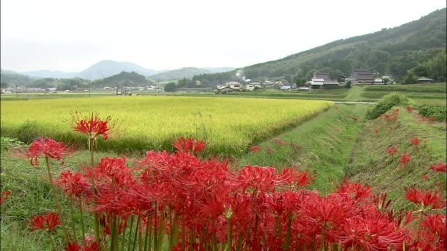 vídeos y material grabado en eventos de stock de spider lilies create a picturesque landscape. - hymenocallis caribaea