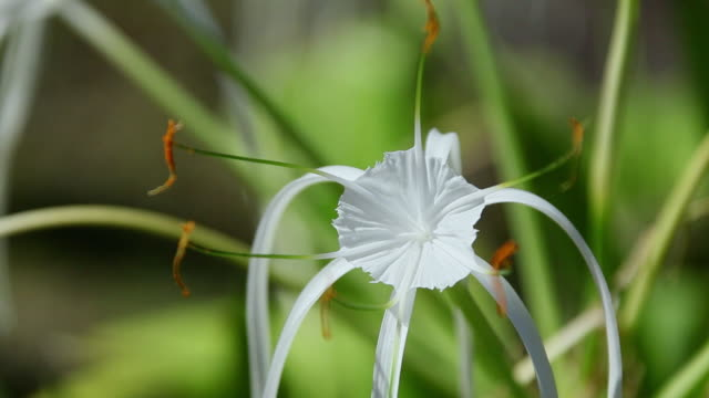 vidéos et rushes de cu spider lily flowers shaking by wind and evening sunlight shines at flower / kapoho, big island,hawaii, united states - big island îles hawaï