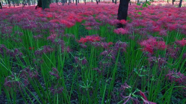 vídeos y material grabado en eventos de stock de ms tu spider lily, higanbana / koma, saitama, japan - hymenocallis caribaea