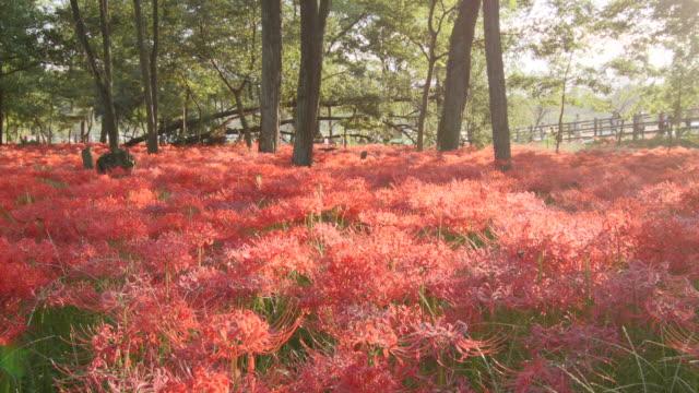 ms pan spider lily, higanbana/ koma, saitama, japan - spider lily stock videos and b-roll footage