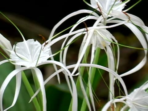 vídeos y material grabado en eventos de stock de spider lily - hymenocallis caribaea