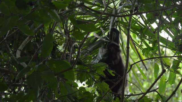 Spider Monkey Climbs through Palm Frawn, 4K
