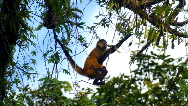spider monkey (genus ateles), eating fruit and hanging on tree - costa rica stock-videos und b-roll-filmmaterial
