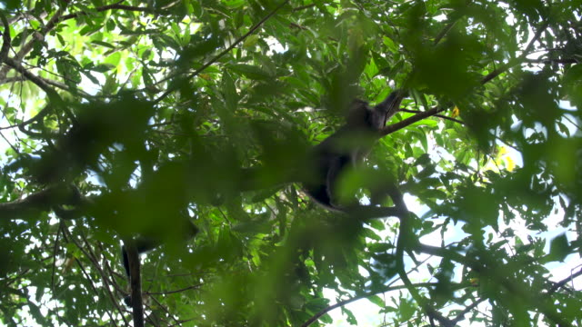 Spider monkey hanging out on branch, palm frawn in foreground , 4k